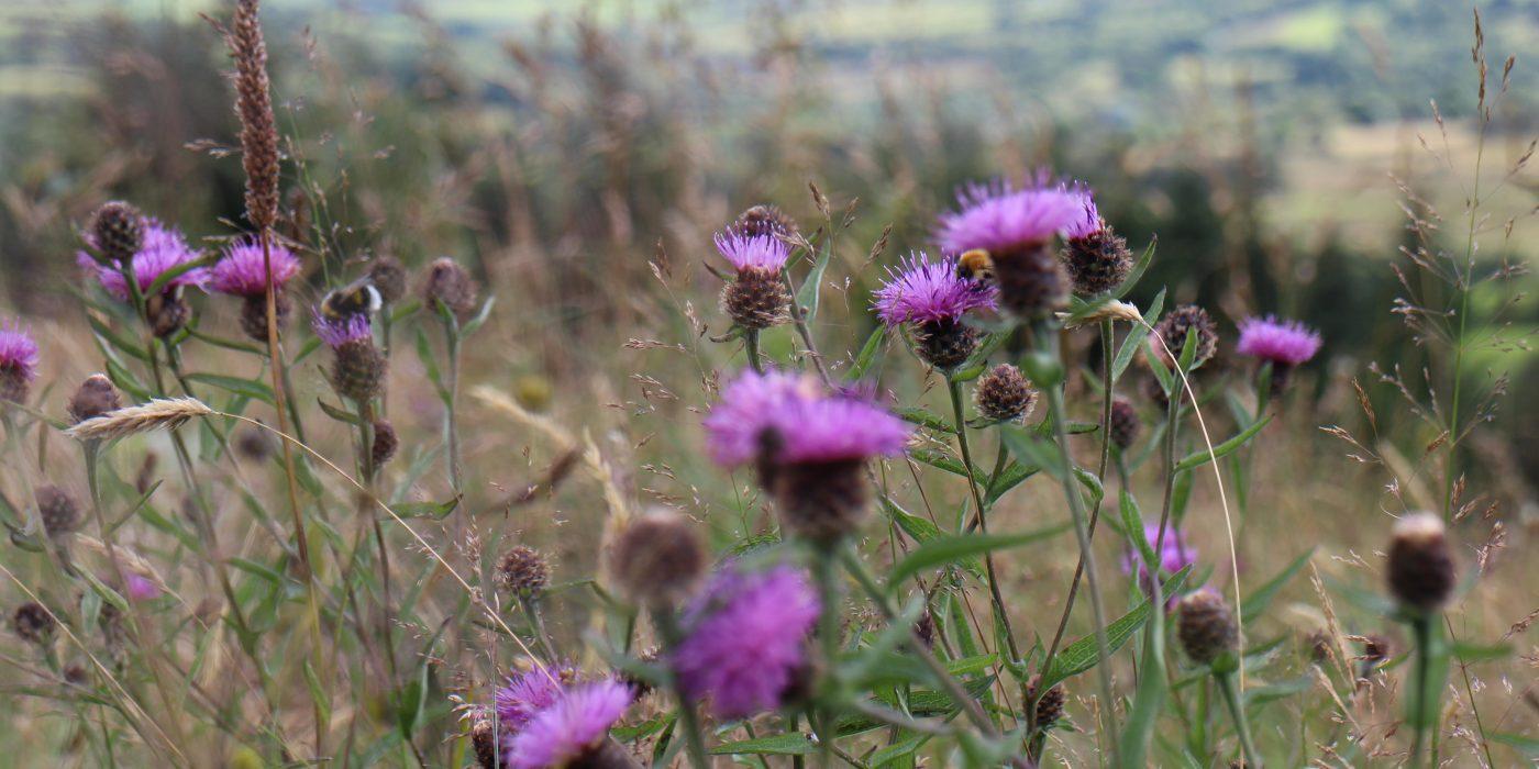 Bee on knapweed. Nature Reserve Meelin